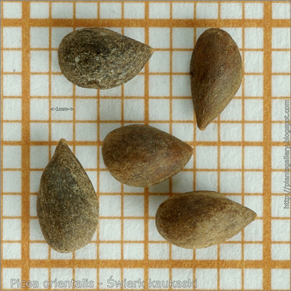 Picea orientalis seeds - Świerk kaukaski nasiona