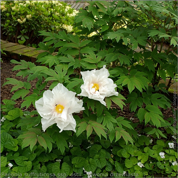 Paeonia suffruticosa ssp. ostii - Piwonia drzewiasta pokrój młodej rosliny