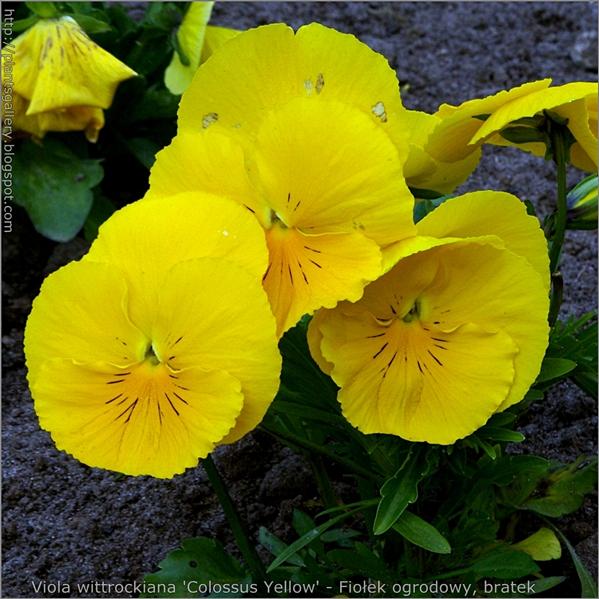Viola wittrockiana 'Colossus Yellow' - Fiołek ogrodowy, bratek