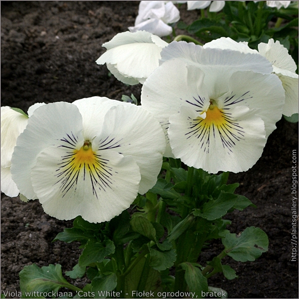 Viola wittrockiana 'Cats White' - Fiołek ogrodowy, bratek pokrój