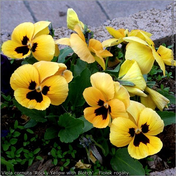 Viola cornuta 'Rocky Yellow with Blotch' - Fiołek rogaty pokrój