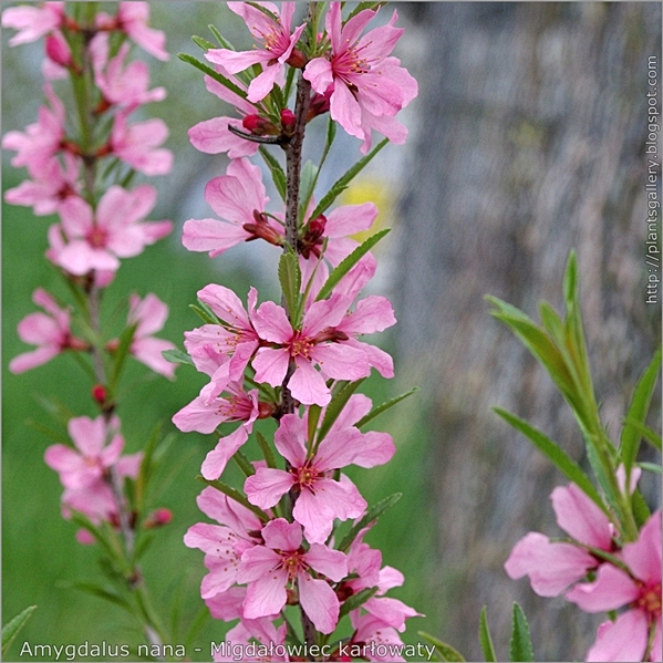 Amygdalus nana syn.Prunus tenella flower - Migdałowiec karłowaty kwiaty