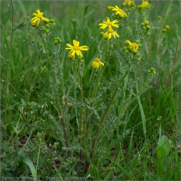 Senecio vernalis - Starzec wiosenny pokrój
