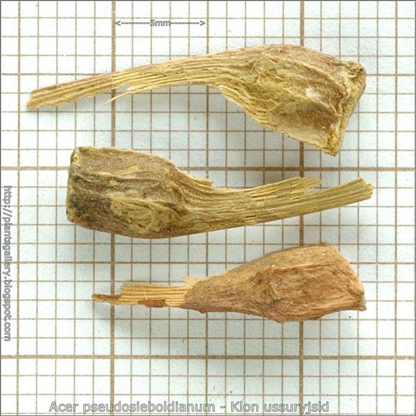 Acer pseudosieboldianum seed - Klon ussuryjski nasiona