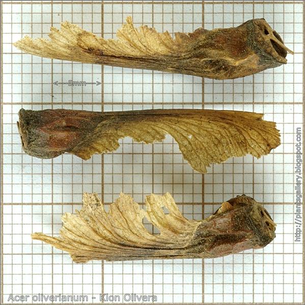 Acer oliverianum seed - Klon Olivera nasiona