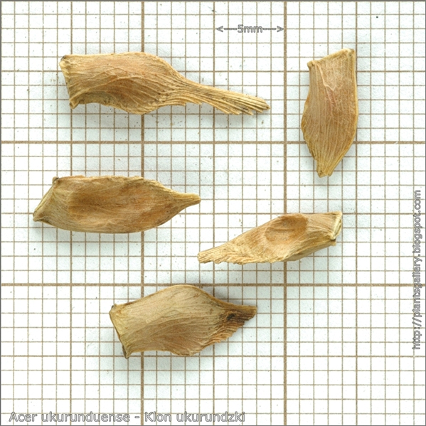 Acer ukurunduense seed - Klon ukurundzki nasiona
