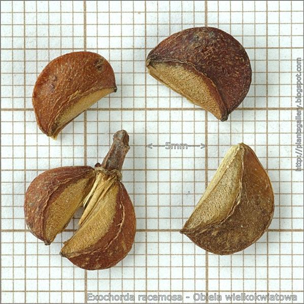 Exochorda racemosa seed - Obiela wielkokwiatowa nasiona