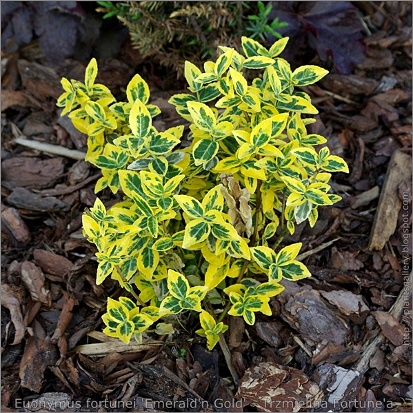 Euonymus fortunei 'Emerald'n Gold' - Trzmielina Fortune'a pokrój młodej rośliny