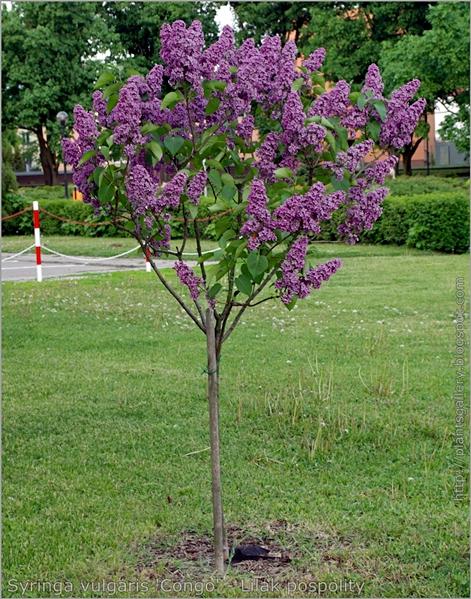 Syringa vulgaris 'Congo' - Lilak pospolity pokrój rośliny szczepionej na pniu
