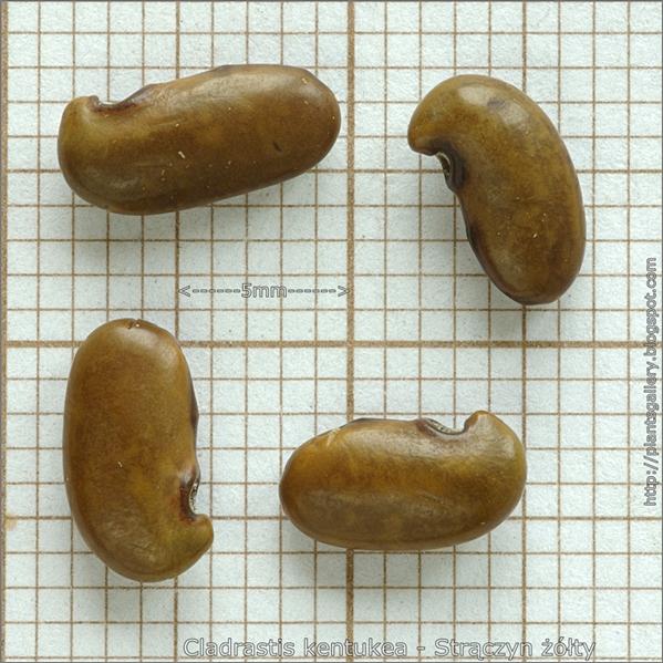 Cladrastis kentukea seed - Strączyn żółty nasiona