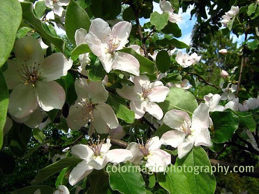 Quince tree branch with flowers-quince blossoms