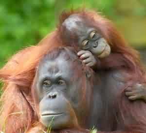 Tanjung Puting, Orangutan's Heaven