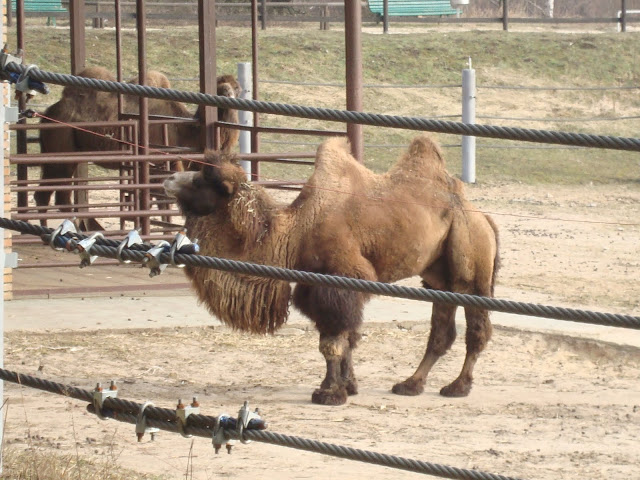Wielbłąd dwugarbny