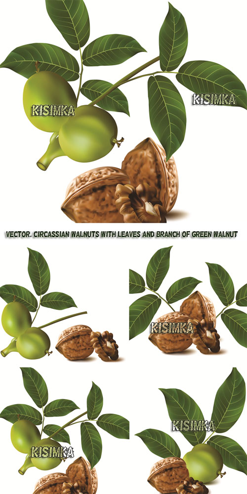 Stock: Circassian walnuts with leaves and branch of green walnut