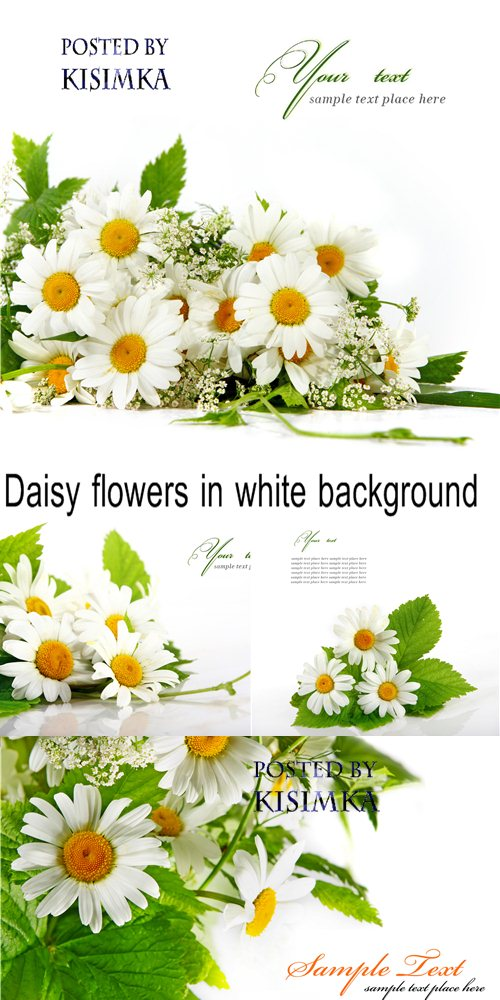 Stock Photo: Daisy flowers in white background