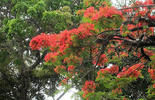 Detalle de Acacia Flamboyant Flamboyan Delonix Regia La Trinidad Baruta Estado Miranda Venezuela