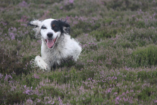 English Setter in heather