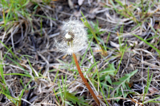 imagine all the dandelions I wanted to take pictures of but didn't