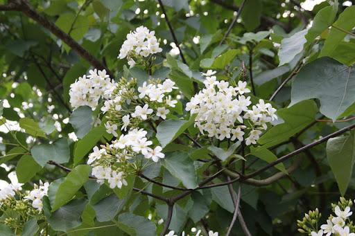 2011雲林古坑客家桐花祭 桐花飛舞咖啡飄香