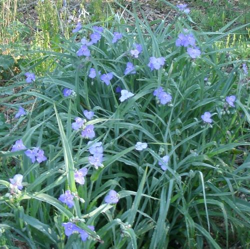 spiderwort covered in blooms