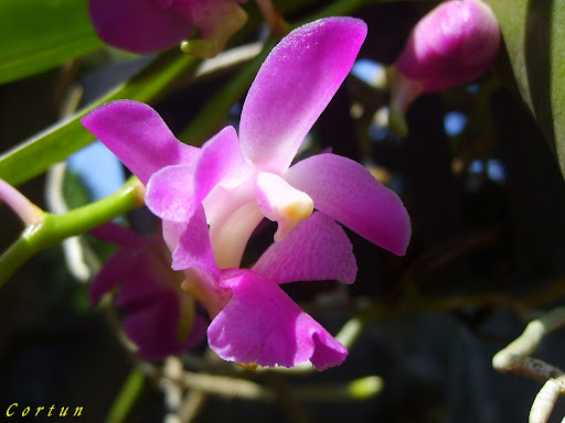 Aerides crassifolia Orchids Flowers Pictures
