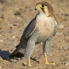 Red Necked Falcon was a highlight of Big Birding Day Uganda