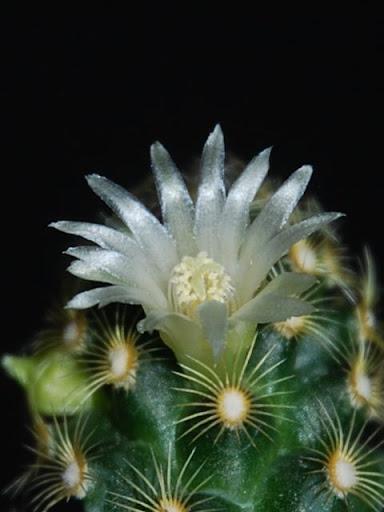 Floraison de cactus non identifié. CSC_0438