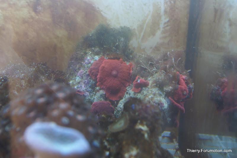 Actinodiscus sp (Red Mushrooms) DSC04556