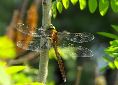 Libelula verde cu doua perechi de aripi (in Delta Dunarii)