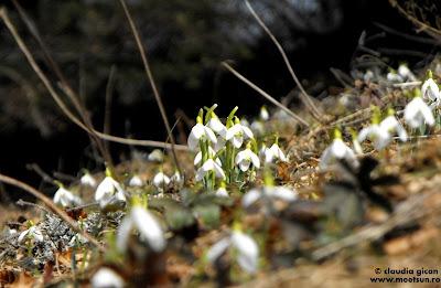 flori de munte de primavara: ghiocei