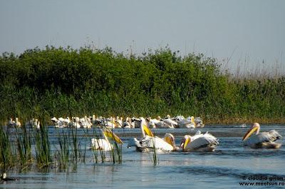 rezervatie de pelicani