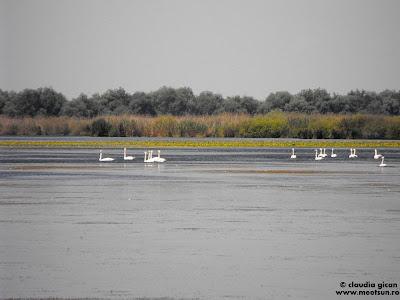 lebede pe lacurile deltei