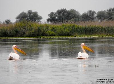 pelicani pereche