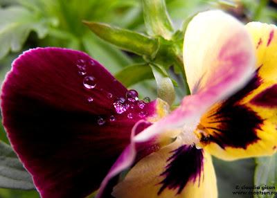 dupa ploaie - picaturi de apa pe o Viola Tricolor
