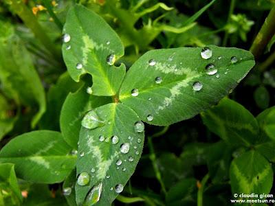 stropi de ploaie pe un trifoi...