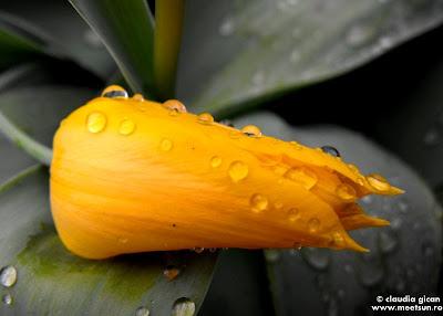 flori de gradina: laleaua galbena