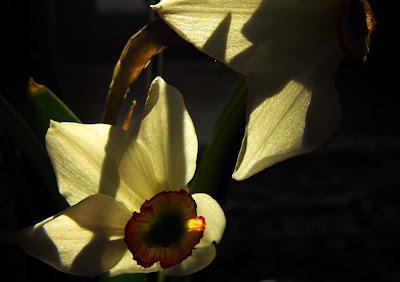 flori de primavara. narcisa alba. raze de soare