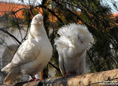 doi porumbei albi gulerati