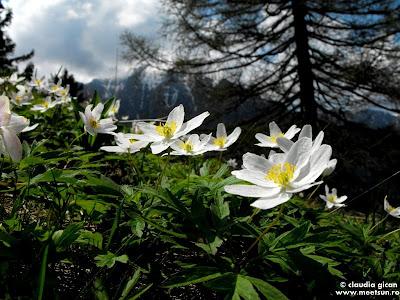 flori albe de munte si primavara: Păștiță sau Floarea Pastelui (anemone nemorosa)