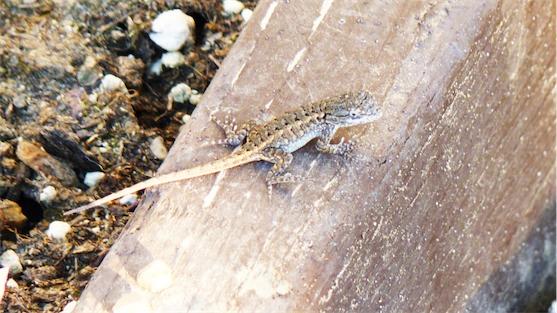 """2"""" Long Lizard 2.jpg"""
