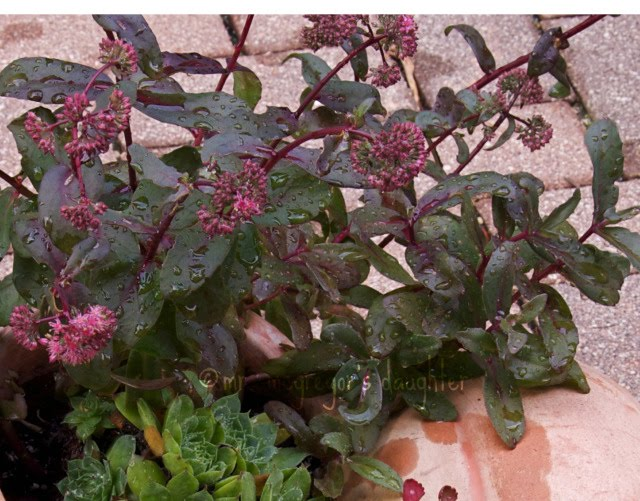 Choosing the Substitute for Sedum 'Black Jack': Three for Thursday