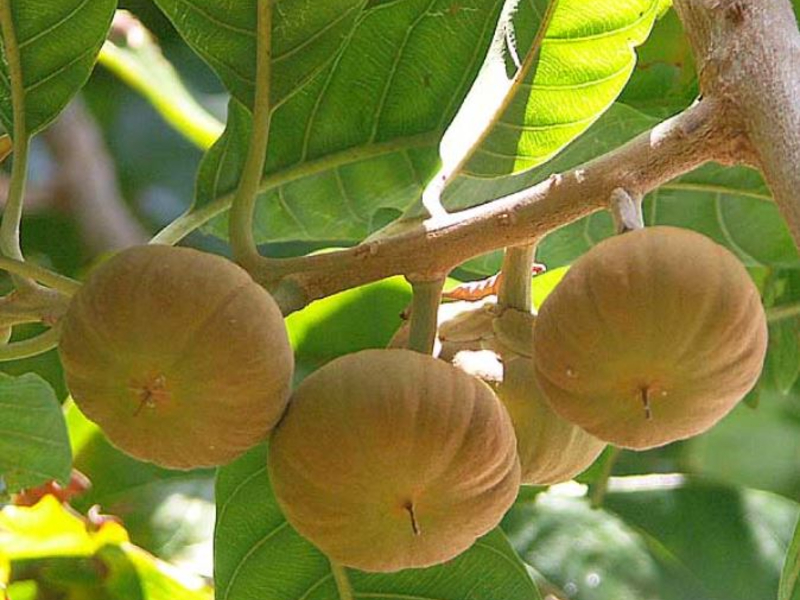 types of sapote fruit