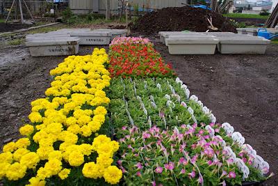 ラワーポットへの鉢植え
