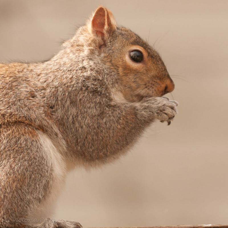 squirrel close-up