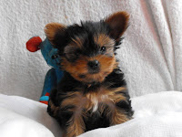 Hope's little yorkie girl, Kelly