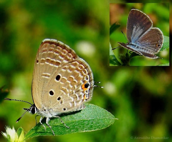 research papers on taxonpmy of butterflies