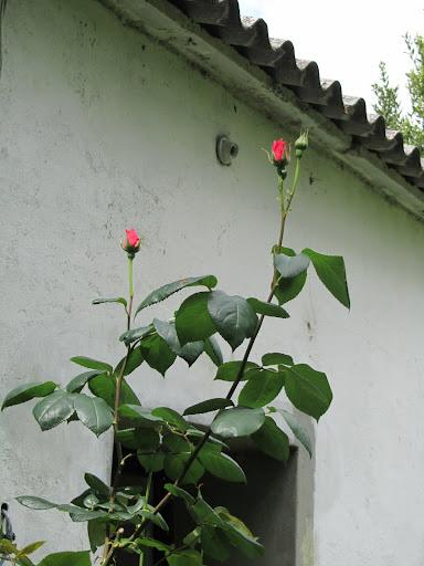 ayuda, pofavó, pa estos 2 pobres rosales - Página 2 IMG_0732