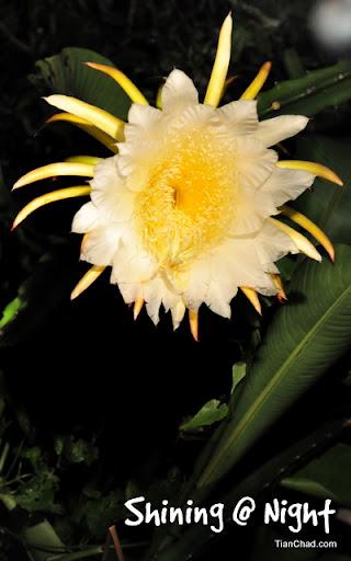 Dragon fruit flower blooms at night mightylinksfo
