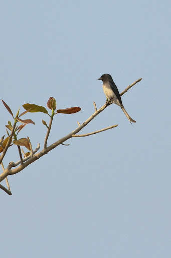 White belled Drongo