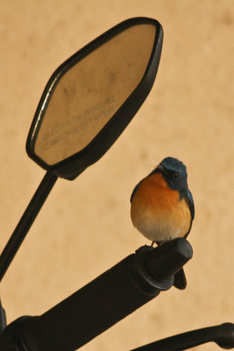 Ticktell's Blue Flycatcher